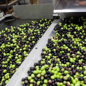 Fresh-picked olives