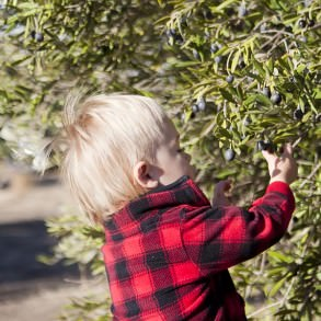 Child Picking Olives at The Purple Orchid