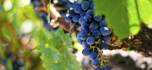 Grapes growing on vine.