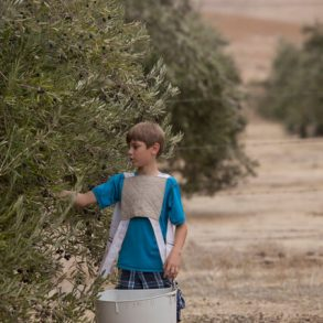 Harvesting Olives at the Purple Orchid