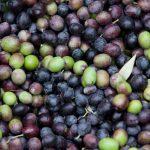 Olive Harvest Purple Orchid