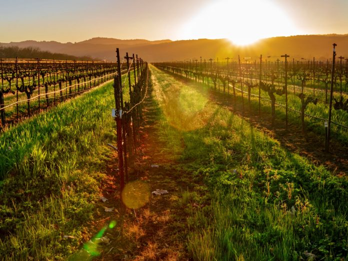 Sunset over vineyard in Wine Country California.