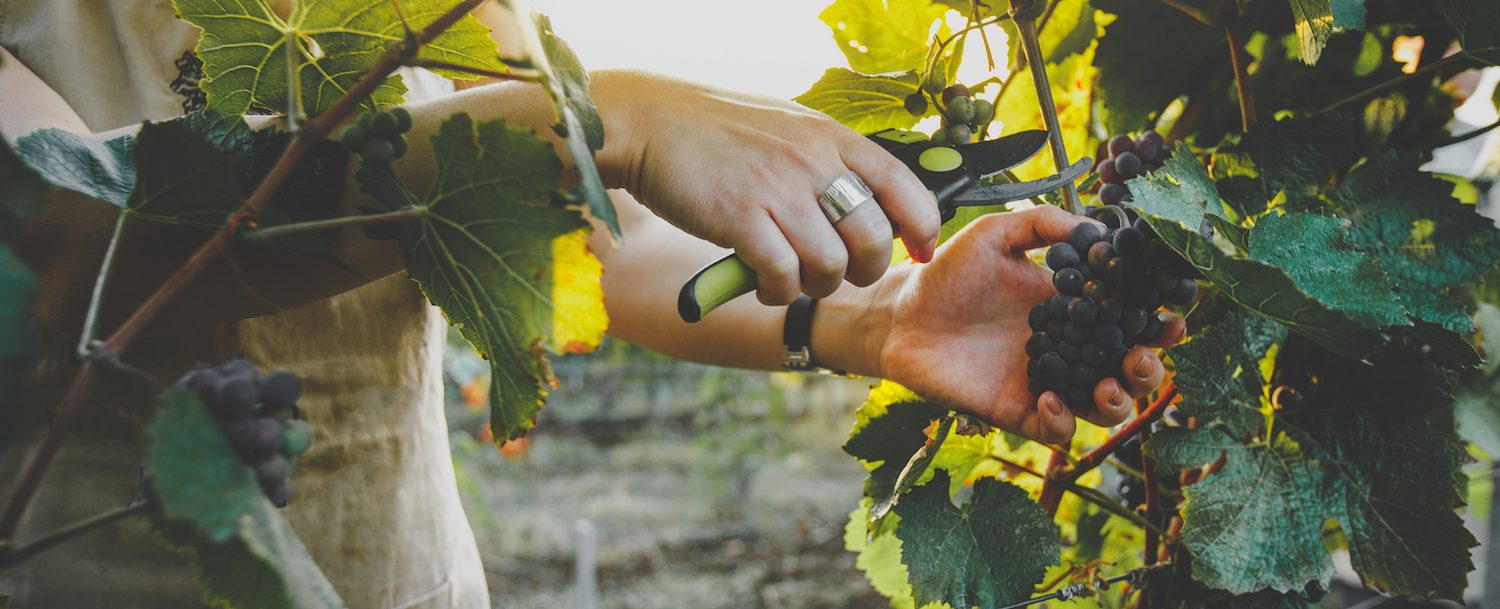 Woman cutting grapes from vine in a vineyard.